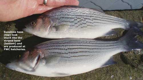 comparison of sunshine bass and striped bass