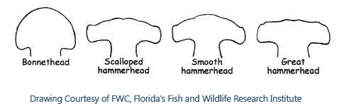 sharks-hammerhead-id-fwc.JPG