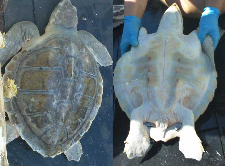 Kemps Ridley Sea Turtle Shell Kemp's Ridley Sea Turt...
